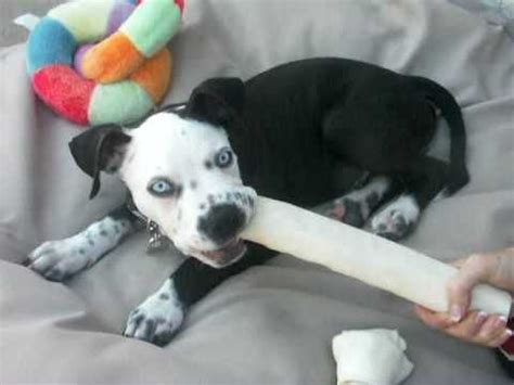 dalmatian pitbull mix puppies for sale the world s catalog of ideas