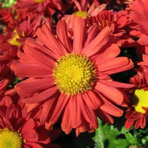 Chrysanthemum by Chrysanthemum Related Keywords Amp Suggestions