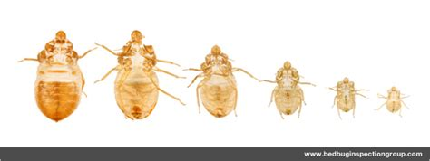 clear bed bugs what do bed bug bites look like get detailed information