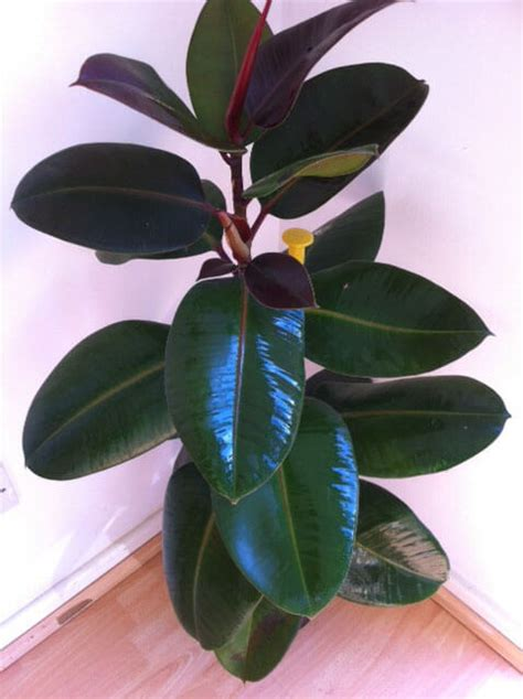 rubber fig ficus elastica rubber plant our house plants