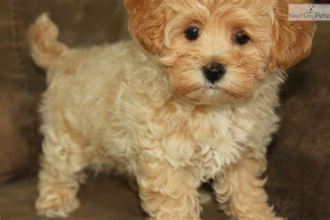 apricot maltipoo puppies for sale maltipoo puppies 4 sale apricot puppy breeders iowa maltipoo puppies 4 sale apricot
