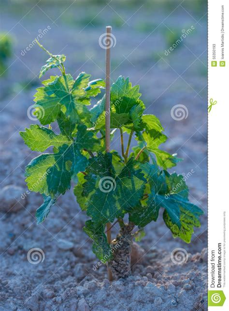 beautiful green color small grapes stock photo image 55350193