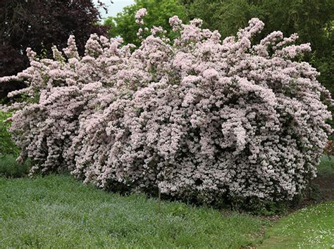 Small Flowering Shrubs For Partial Shade - buy beauty bush kolkwitzia amabilis pink cloud delivery by crocus