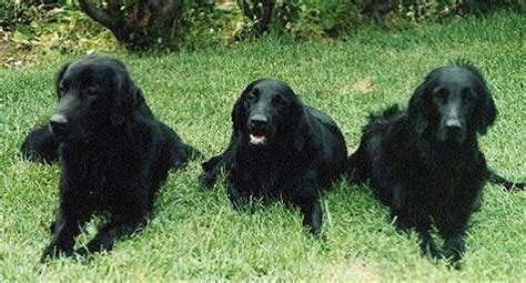 flat coated retriever excellence razas 842551357x flat coated retrievers inglis kennels