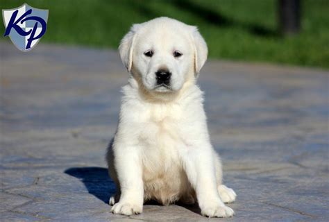 golden labrador puppies golden labrador keystone puppies puppies for sale in pa