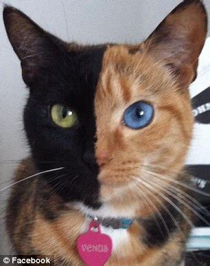 two faced cat goes viral: meet venus the famous feline who