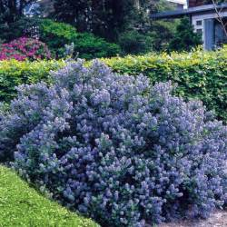 flowering shrubs hedge 5 hedge plants ceanothus yankee