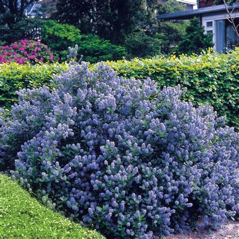 flowering shrubs hedge 5 hedge plants ceanothus yankee point blue garden pinterest