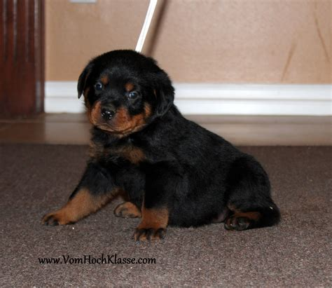 german rottweiler puppy pin rottweiler puppies 6jpg on