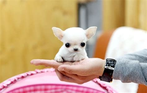 apple chihuahua puppies for sale near me 32 best images about apple chihuahuas on