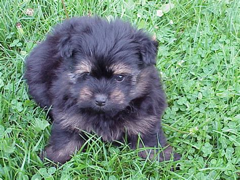 porkie puppy porkie www imgkid the image kid has it