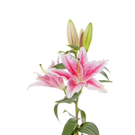 starfighter pink lilies 50 stems lilies types of flowers flower muse