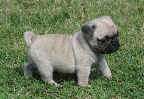 pug puppy breeders pictures  images tedlillyfanclub