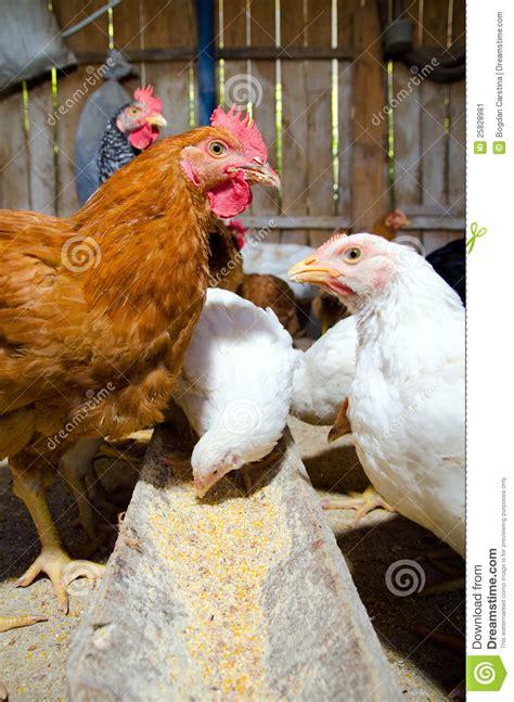 alimentazione polli alimentazione dei polli immagine stock immagine di