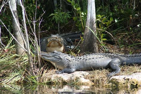 everglades airboat tours fort myers everglades adventure everglades tours airboat ride