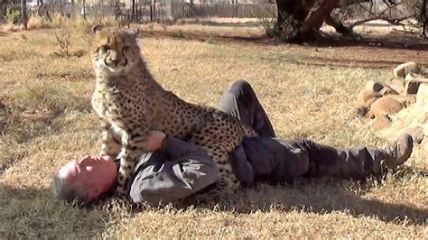 Loved By Affectionate African Cheetah Cat   Man & Cheetah