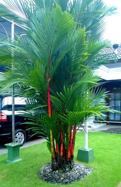 Jual Bibit Pohon Cendana Harga menanam dan budidaya palem merah satu jam