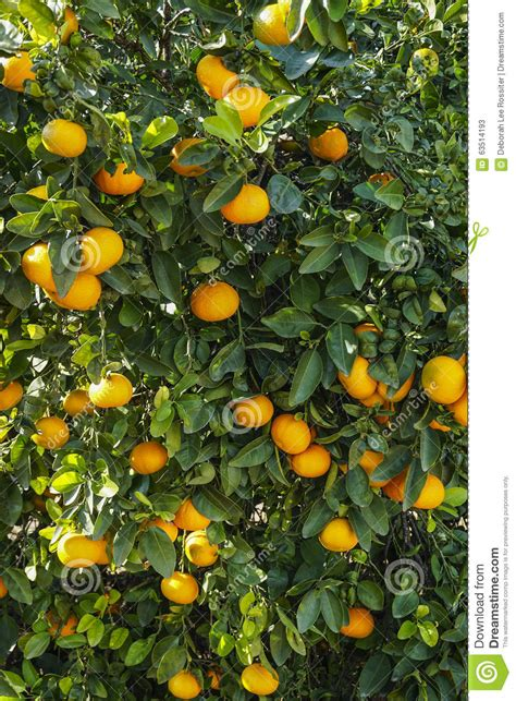 vertical fruit trees orange tree orchard stock photo image 63514193