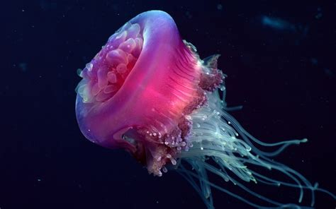 Jellyfish Wallpapers | Animals Library