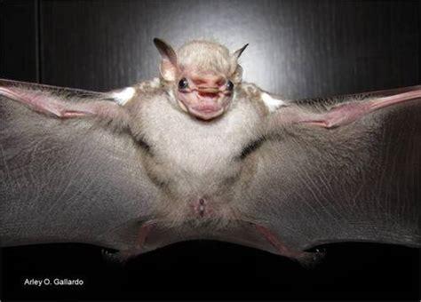 visored bat sphaeronycteris toxophyllum inaturalist