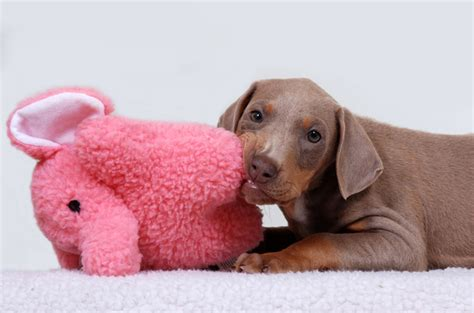 my puppy is teething chew on these tips to survive your puppy s teething stage