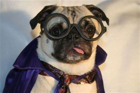 pug harry potter harry potter pug harrypotter costume pug puppy