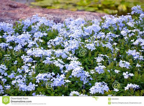 blue flowering shrubs in florida plumbago auriculata stock image image of auriculata