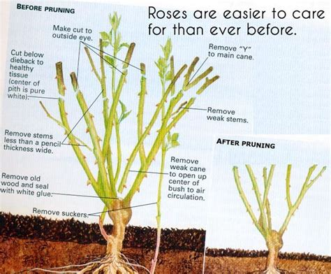 25 best ideas about pruning roses on pinterest prune