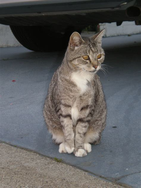 tabby cat wikipedia view topic duskclan new and accepting chicken