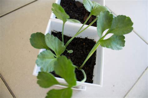 geranien pflanzen ab wann ranunkeln 187 wann sollten sie sie pflanzen