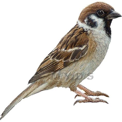 sparrow clipart tree sparrow clipart picture large clip animals