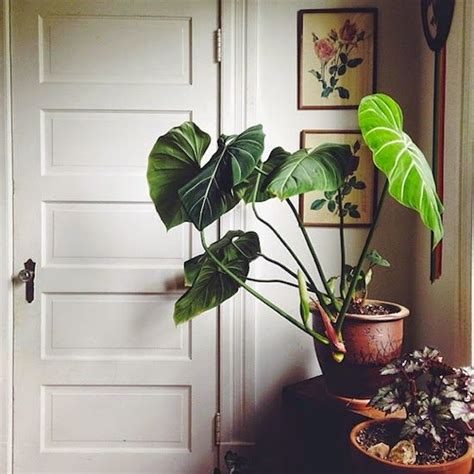 plants indoor and elephant ears on pinterest