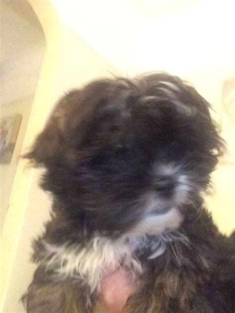 choco liver shih tzu for sale shih tzu puppy for sale sold breeds picture