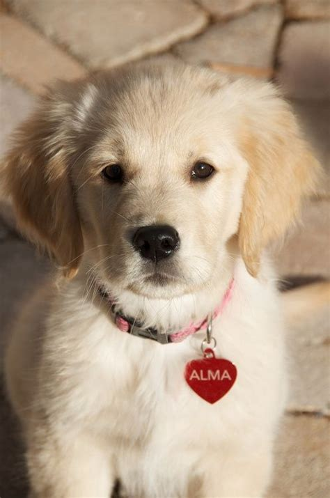 top golden retriever names best 25 golden retriever names ideas on a