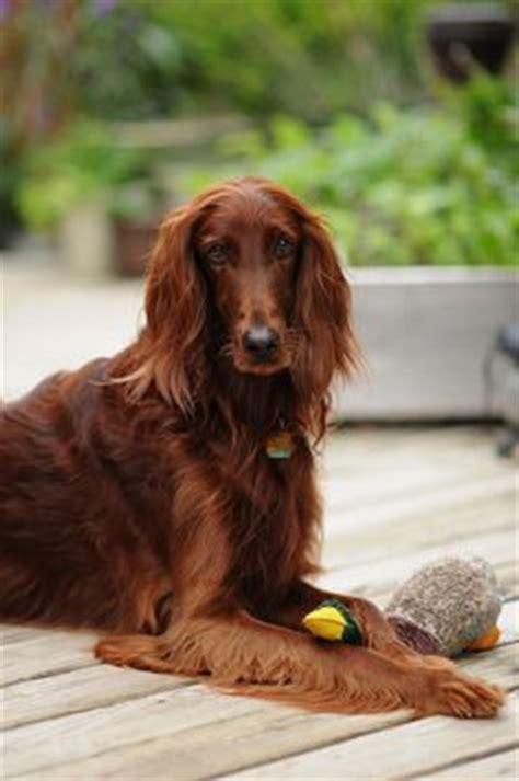 irish setter dog time irish red setter on pinterest 27 pins