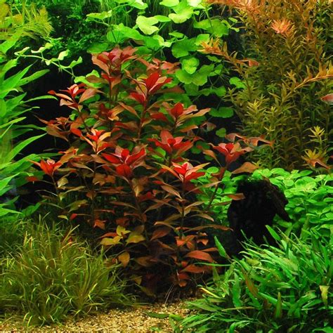 easy live aquarium plants package 7 kinds anacharis