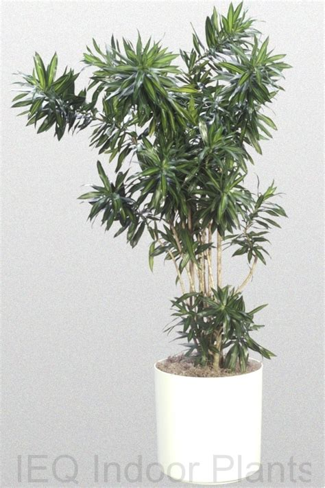 dracaena reflexa best indoor plants brisbane zanzibar gem low light plants