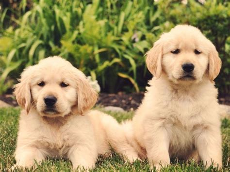 hearts of gold golden retrievers golden retriever for sale by hearts of gold golden retrievers american kennel club