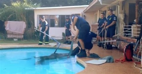 Backyard Rescue Pools Rescued From Swimming Pool By Amazing Of