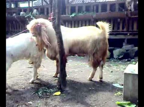 Kambing Etawa Why kambing etawa senduro 130 kg kawin