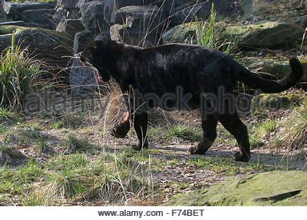 male south american black jaguar (panthera onca) on the