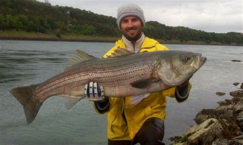 fishing report cape cod cape cod canal fishing report 45 7 pound striped bass