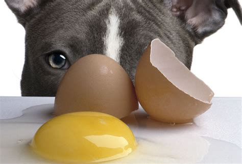 are eggs for dogs barf diet 174 don t walk on egg shells give them to your