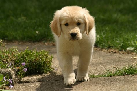 golden retriever puppy not miniature golden retriever 24 vital facts and images