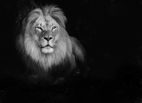 high quality black and white wallpaper lion desktop wallpaper black and white impremedia net