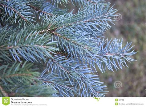 blue pine tree stock photo image  holiday merry cold
