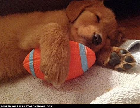 golden retriever puppies sleeping golden retriever puppy sleeping the things