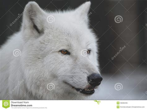 arctic wolf canis lupus arctos aka royalty free stock photo image 36290435