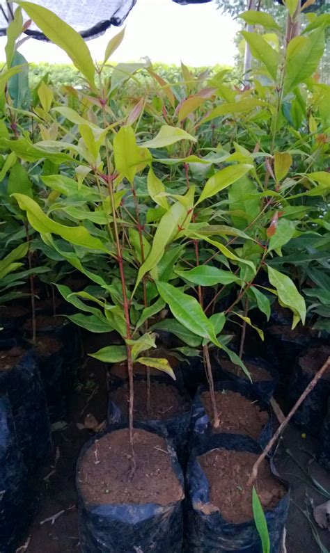 Jual Bibit Bunga Gumitir Di Bali jual bibit cengkeh di jawa barat jual bibit pohon tanaman