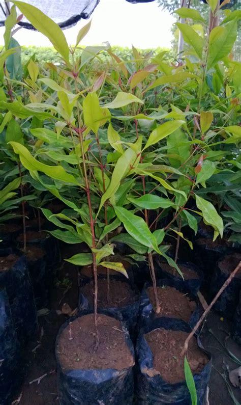 Bibit Belut Di Jawa Barat jual bibit cengkeh di jawa barat jual bibit pohon tanaman